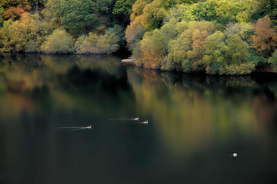 IMAGE REF: #041Canada geese and swans gliding serenely on Loweswater, Lake District